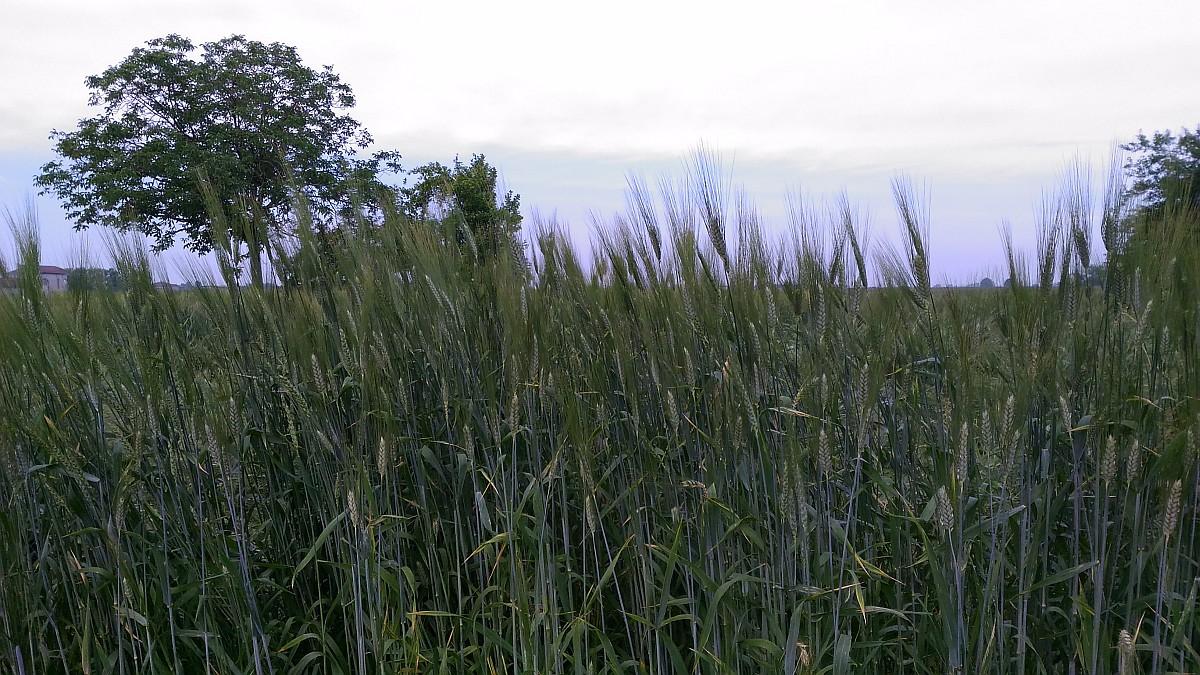 Sanor grano duro cappelli 2 societ agricola nuovi for Vendita piante bambu gigante